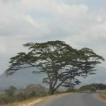 Tukielekea Morogoro, Acacia Tree